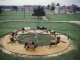 A Bull Exercise Ring at the Bureau of Animal Industry