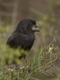 A Large Ground Finch, Geospiza Magnirostris, Eating