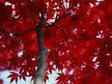Close View of Red Maple Leaves - Al Petteway