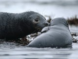 An Oiled Female Harbor Seal (Phoca Vitulina) Still Knows Her Pup Despite Its Oil Blackened Skin