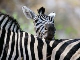 Adult Burchells Zebra Resting Head on Back of Another, Moremi Wildlife Reserve, Botswana - Andrew Parkinson
