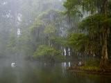 Great Egret Reflected in Foggy Cypress Swamp, Lake Martin, Louisiana, USA - Arthur Morris
