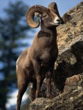 Rocky Mountain Bighorn Sheep on Side of Mountain, Yellowstone National Park, USA - Carol Polich