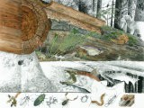 Cutaway Painting of a Dead Douglas Fir Log; It Supports an Immense Colony of Small Life