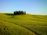Cypresses in a Wheatfield