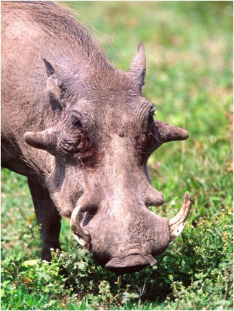common warthog. Affiches Common Warthog,