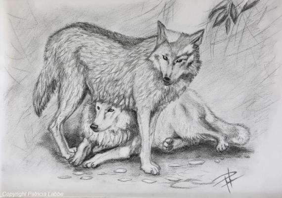 Dessin loup gvaudan sauvage amrique tendre complicit de loups blancs du gvaudan - Dessin du loup ...