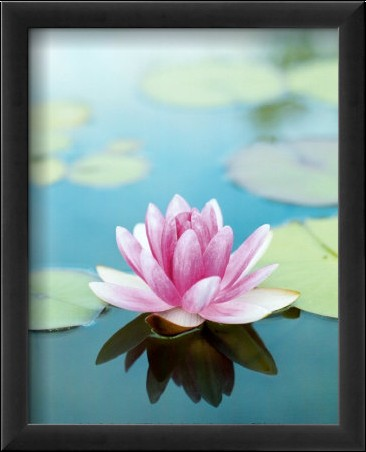 fleur de lotus elena segatini bloom posters affiches. Black Bedroom Furniture Sets. Home Design Ideas