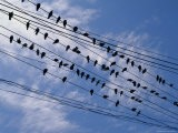 Flock of Birds Lined up on Overhead Wires