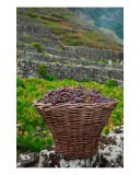 Grape Harvest In Azores Islands - Gaspar Avila