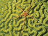 Brittle Star on a Brain Coral Green with Zooanthellae Algae. Fiji - Hal Beral