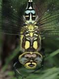 Southern Hawker Dragonfly Head Close-Up, Germany - Hans Christoph Kappel
