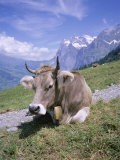 Cow at Alpiglen, Grindelwald, Bernese Oberland, Swiss Alps, Switzerland - Hans Peter Merten