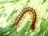 Tiger Centipede, Scolopendra Species, West Malaysia - Harold Taylor