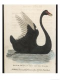 The Black Swan of New South Wales - Harrison Cluse