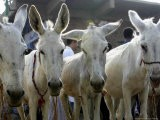 Egyptian Veterinian Ahmed Rostom, Center, Passes by a Line of Donkeys for Sale - Hasan Jamali