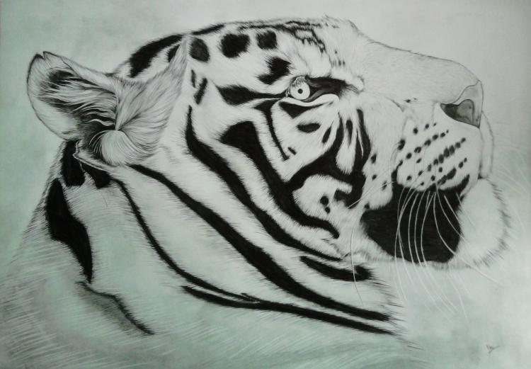 Dessin De Tigre Blanc