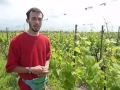 traitement de la vigne (traitement bio / traitement phytosanitaire)