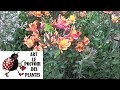 Conseils jardinage: alstroemeria lys incas: comment faire la taille et l'entretien :Plante vivace