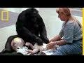 L'apprentissage du langage humain par les singes