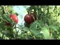 Cultiver ses tomates au jardin : soins et entretien