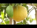 Comment entretenir les agrumes ? - Jardinerie Truffaut TV