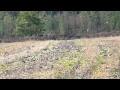 Palombes par milliers dans les Landes