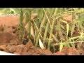 Comment réussir la plantation du bambou en pot ? - Jardinerie Truffaut TV