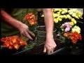 Planter des chrysanthèmes en jardinière ou en pleine terre