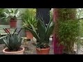 Comment cultiver l'agave ? - Jardinerie Truffaut TV