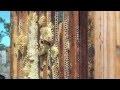 La récolte du miel de lavande avec Jean-Philippe Mandard, apiculteur