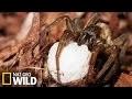 Araignée venimeuse - Armures Animales