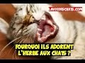 Pourquoi les chats adorent l'herbe aux chats �