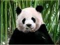 Hey Panda ! Speed painting
