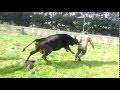 Une vache défend son petit face à l'éleveur qui tente de lui voler pour l'abattoir...