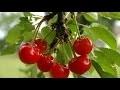 Le cerisier : culture, plantation, taille, entretien, guide variétés