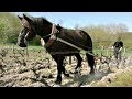 Des chevaux dans les vignes- Horses in the vineyards (English)