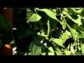 Haricots Verts  sur un mur géant vertical de 2m50 dans un jardin