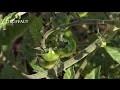 Comment et quand planter les tomates au potager ? - Jardinerie Truffaut TV