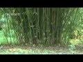 Bambou fargesia et ses variétés - Jardinerie Truffaut TV