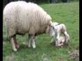 naissance des moutons trop beau a voir absolument