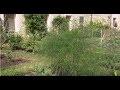 L'asperge décorative : Asparagus officinalis - Jardinerie Truffaut TV