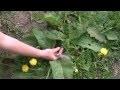 Les plantes sauvages comestibles (partie 1).