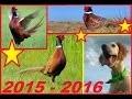 chasse de 3 faisans sauvage avec setter anglais 2015 2016