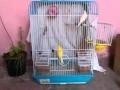 Accouplement canaris jaune avec blanc