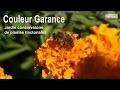 Couleur Garance : le jardin conservatoire des plantes tinctoriales