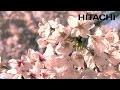 Les magnifiques cerisiers en fleurs au Japon et le sanctuaire Kumano  - Hitachi