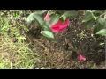 Comment planter un camélia ? - Jardinerie Truffaut TV