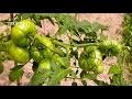 Quelles variétés de tomates choisir pour mon potager ? - Jardinerie Truffaut TV