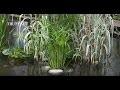 Cultiver la canne de Provence (Arundo Donax) - Jardinerie Truffaut TV